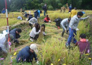 ④稲刈りP1240700